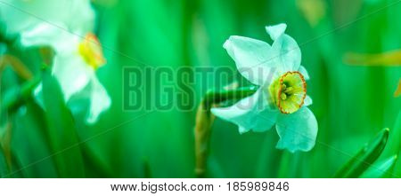 blossom narcissus in the garden in springtime