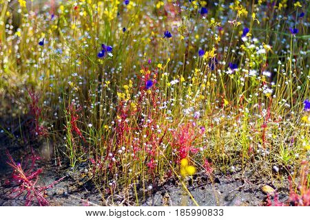 Drosera indica Linn.flower and Utricularia bifida l. beautiful in the Mukdahan Nation Park Thailand.