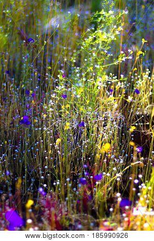 Utricularia delphinoides Thor.ex Pell. flower beautiful mix Utricalaria minitissima Vahl. at Mukdahan Nation Park Thailand.