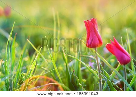 Wild red tulip known as Tulipa schrenkii or Tulipa suaveolens