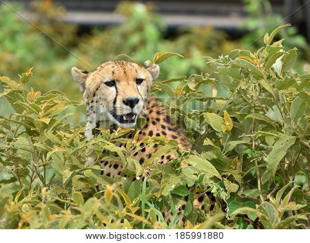 Wild african cheetah hiding with prey in the bushes