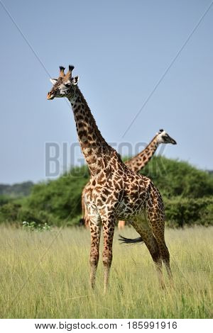 giraffe in natural habitat in African natural park