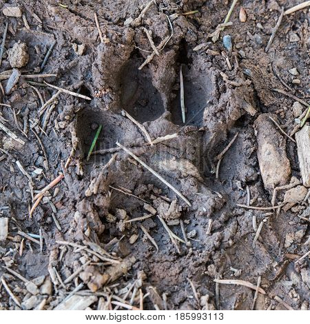 Mountain Lion Footprint in Mud provides evidence of the elusive wildlife