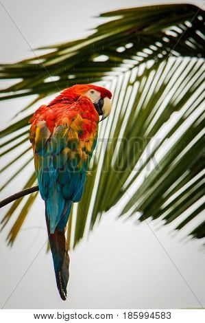 Scarlet Macaw parrot in the rainforest in Ecuador