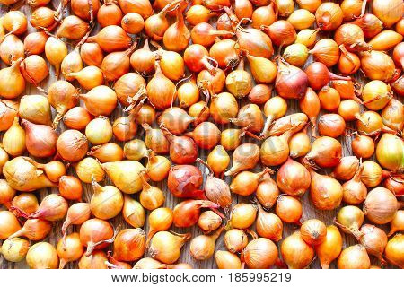 Harvest of onion. Drying of  on sun. Vegetable farming. Agriculture and horticulture,  as background texture