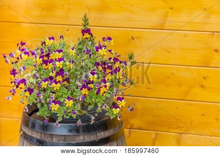 Tricolor Pansy Flower Plant On A Wine Wood Barrel With Wood Wall As Background