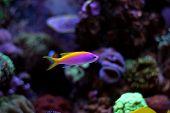 Evansi Athias Ocean fish in cora aquarium tank poster