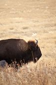 wild american bison in south dakota poster
