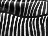 Details from a zebra with black and white stripes patterned skin poster
