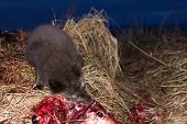 Blue foxes (Alopex lagopus semenovi) come at night to devour carcasses of fur seal (Callorhinus ursinus) which Aleuts harvested on Komandor-Aleutian island ridge poster