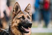 Beautiful Young Brown German Shepherd Dog Close Up. Alsatian Wolf Dog Or German Shepherd Dog. Deutscher Dog. poster