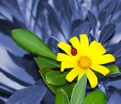 Red and black ladybug or ladybird on a yellow flower with green leaves against a faded blue-gray background of leaves and branches poster