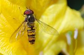 Hoverfly resting on a yellow flower in a macro shot poster