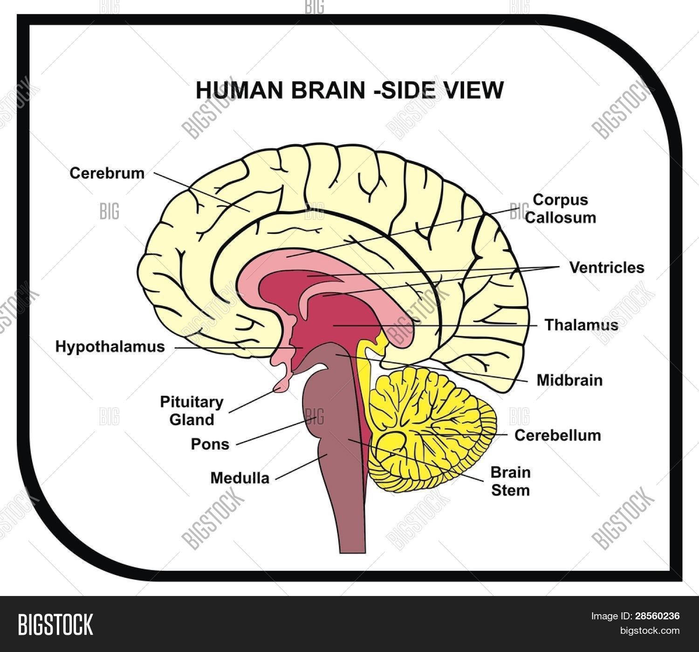 Vector human brain diagram vector photo bigstock vector human brain diagram side view with parts cerebrum hypothalamus thalamus ccuart Images