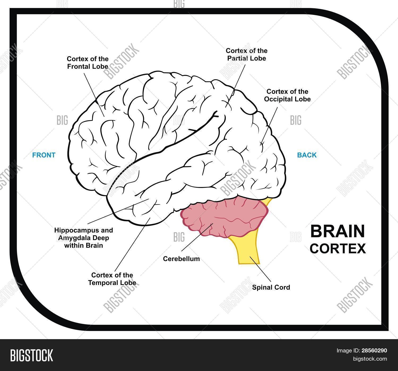 Human Brain Diagram Image Photo Free Trial Bigstock