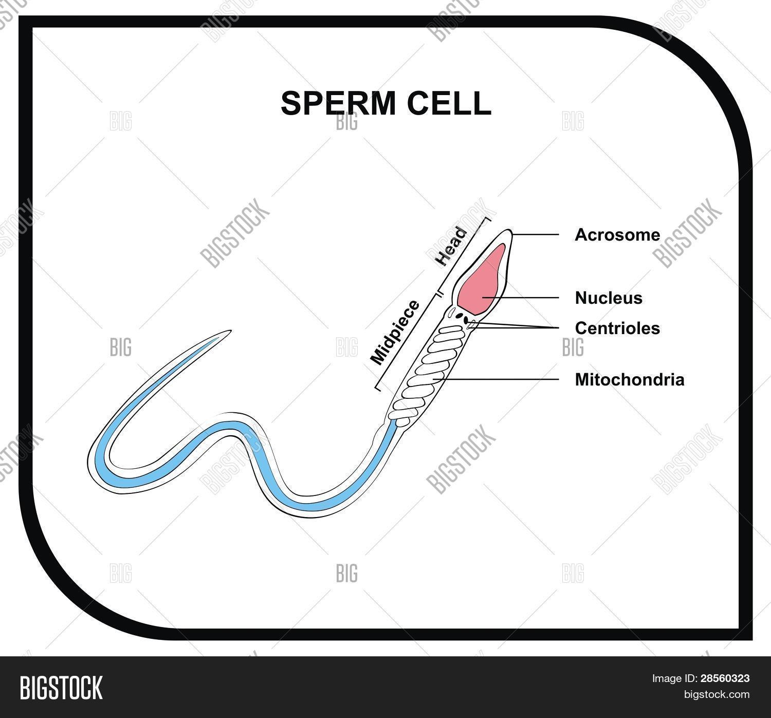 size of a sperm cell