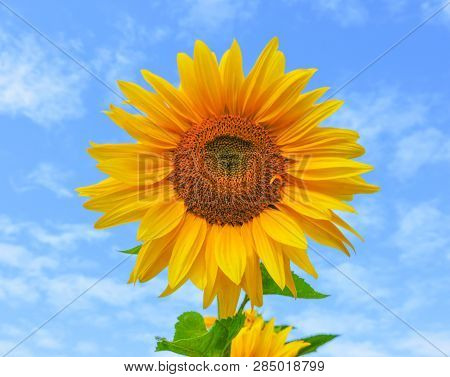 Field Of Blooming Sunflowers.top View, Space For Text.sunflower Field Landscape. Sunflower Field Pan