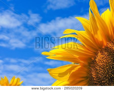Field of blooming sunflowers. Top View, Space for Text. Sunflower field landscape. Sunflower field p