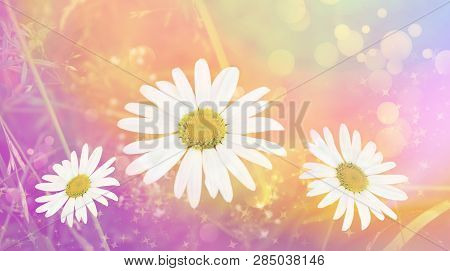 Blooming Daisy White Spring Summer Border Background. Floral Summer Spring Background. Abstract Back