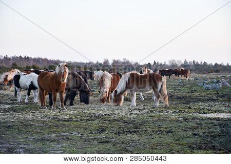 Herd With Beautiful Feeding Horses At The Swedish Island Oland