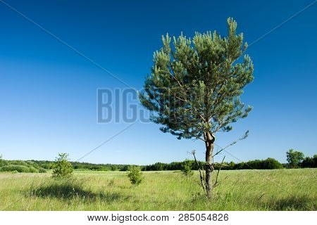 Coniferous Tree Growing On A Green Meadow, Forest And Blue Sky