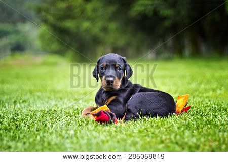 Doberman Puppy In Grass. Puppy Lies On The Green Grass