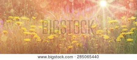 Yellow Flowering Yellow Field Flowers On Pink Background. Floral Summer Spring Background. Light Bac
