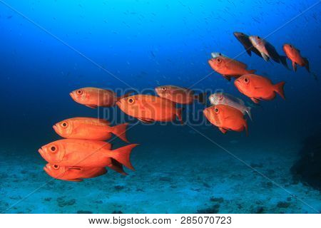 School red snapper fish
