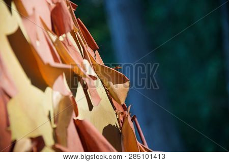 Detail Of Peeling Papery Bark Of Arbutus Tree Stands Out Against Dark Background Of Forest, Saanich