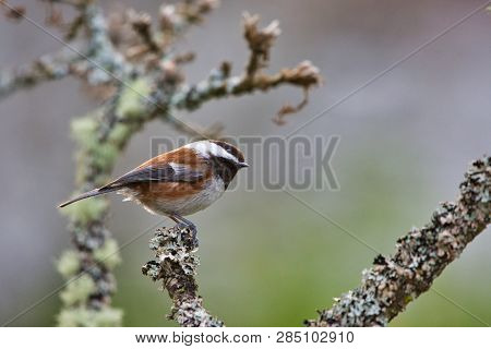 Chestnut-backed Chickadee Cocks Its Head As It Perches On A Lichen Covered Garry Oak Twig, Vancouver