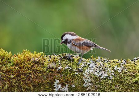 Chestnut-backed Chickadee Finds Food In The Moss And Lichen Covering An Oak Tree Branch, Vancouver I