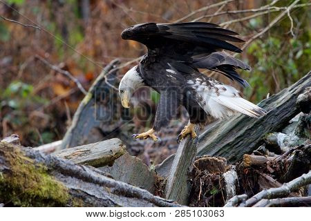 Adult Bald Eagle Hops From One Log To Another Balancing With Its Wings Open As It Ssearches For Salm