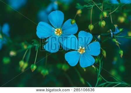 Amazing Bright Cyan Flowers Of Flax Blooming On Green Background. Vivid Blue Neon Flowers Close-up.