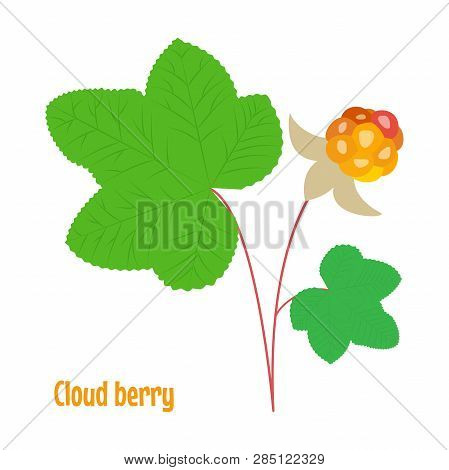 Cloud Berry. Isolated Wild Berries On White Background. Vector Illustration.