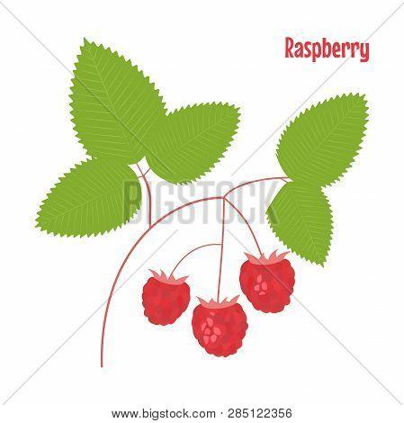 Raspberry. Isolated Wild Berries On White Background. Vector Illustration.