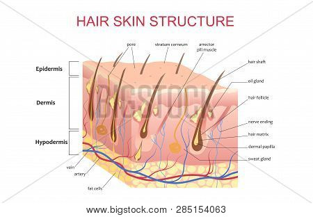 3D structure of the hair skin scalp, anatomical education infographic information poster vector illustration. poster