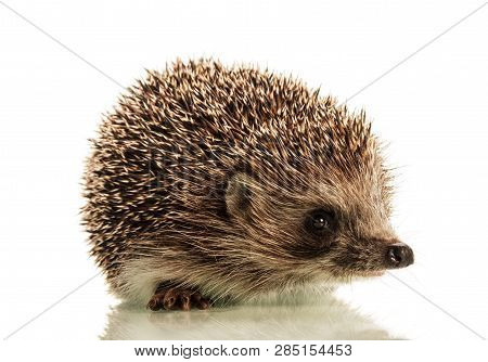 Beautiful Cute Prickly Hedgehog Isolated On White Background