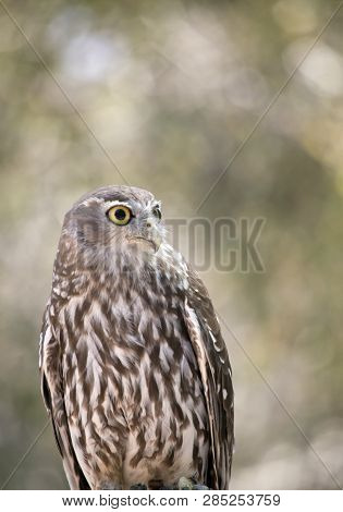 the barking owl is looking for preditors poster
