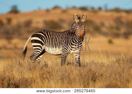Cape mountain zebra (Equus zebra) in natural habitat, Mountain Zebra National Park, South Africa