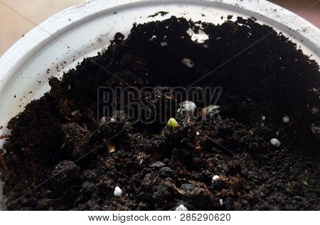 Sprouting seeds of Catalpa Bignonioides     in soil mixture with perlite