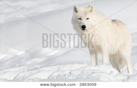 An arctic wolf in the snow is looking at the camera. poster