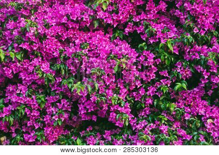 Delightful magenta Bougainvillea flowers on the wall. Botanical garden on a sunny day. Concept of the ecology. Soft focus effect. Scenic image of flowering orchard in spring time. Beauty of earth.