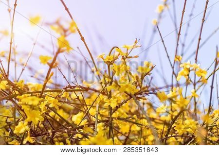 Spring Bush Without Leaves Blooms Profusely With Small Yellow Flowers Against A Blue Sky, Selective
