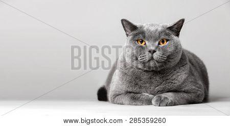 Happy cat laying on the floor. Domestic animal, British shorthair cat.