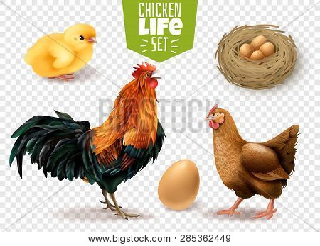 Chicken Life Cycle Realistic Set From Eggs Laying Chicks Hatching To Adult Birds Transparent Backgro
