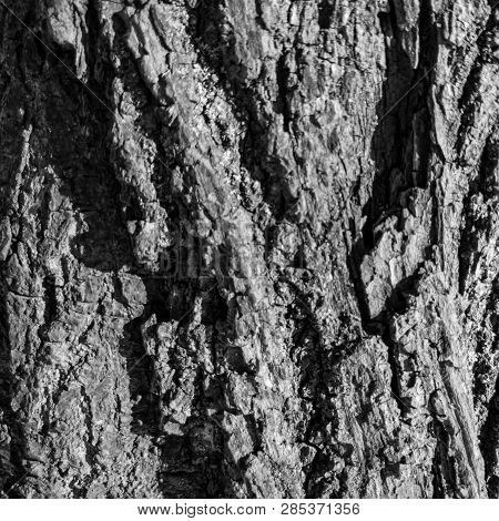 The Tree Bark Close Up. Background Of Tree Bark. Texture Of Tree Bark.