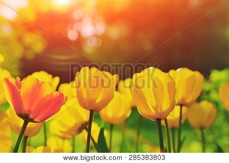 Group Of Colorful Tulip. Red, Pink, Yellow Coral Flower Tulip Lit By Sunlight. Soft Selective Focus,