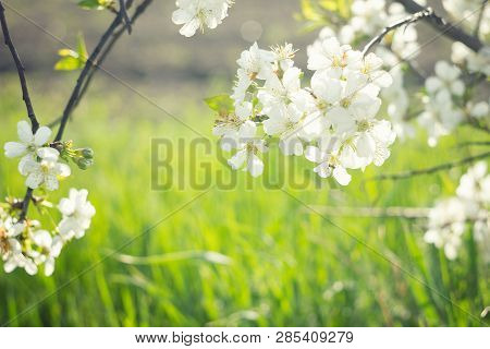 Flowering Spring Tree Close-up.tree Flower, Seasonal Floral Nature Background, Shallow Depth Of Fiel