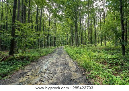 Old Dirt Road Through Forest. Wet Foliage, Puddle After The Rain. Travel Background. Summer Nature S