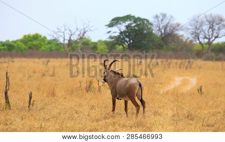 Roan Antelope - Hippotragus Equinus -back View Looking Out Onto The African Savnnah In Hwange Nation